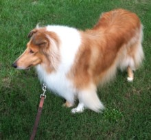 Lady, our loved female Collie